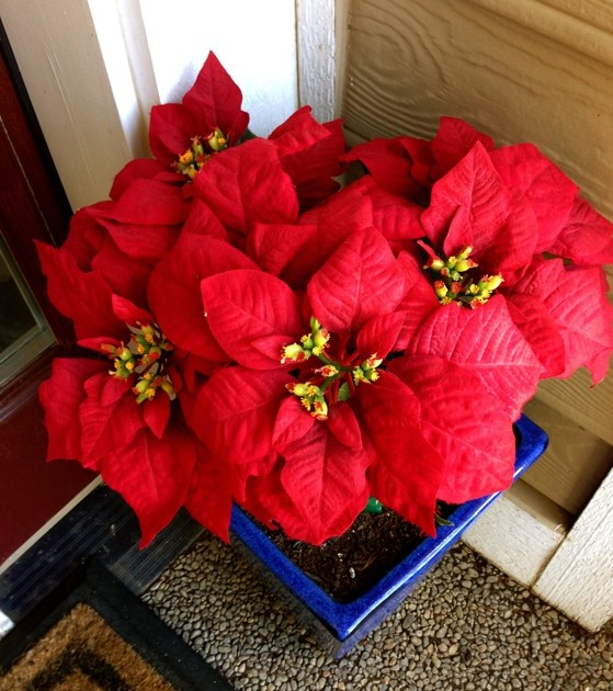 Poinsettia way past its prime!