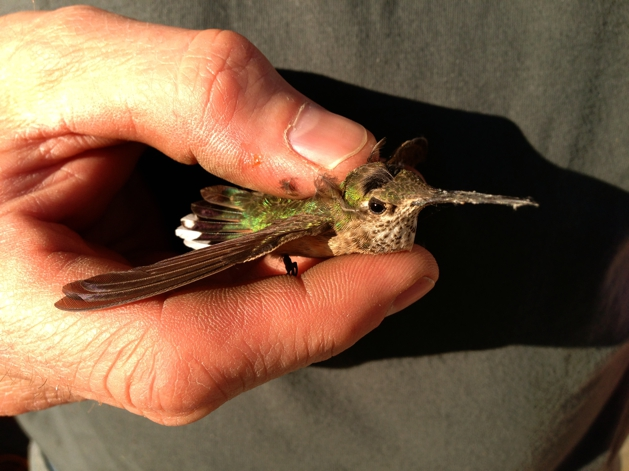 Proof that hummingbirds have feet!