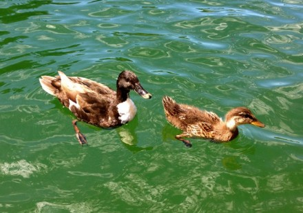 Two Ducklings paddling in the water
