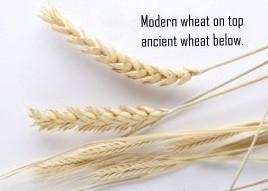 Modern vs Ancient Wheat