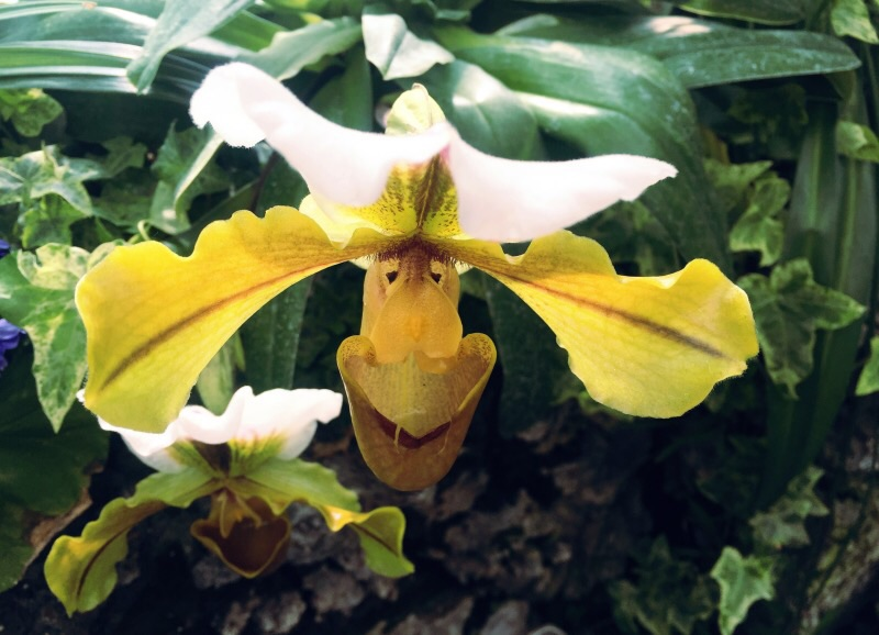 Bullwinkle the Orchid