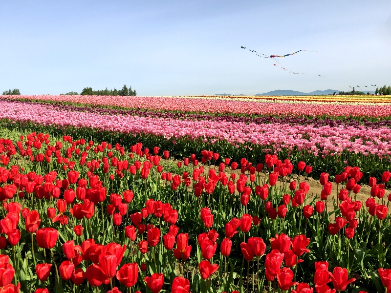 Colored Tulip Fields in La Conner, WA
